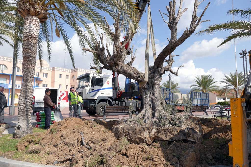 Medio Ambiente traslada un olivo de más de 300 años a la plaza Juan Carlos I