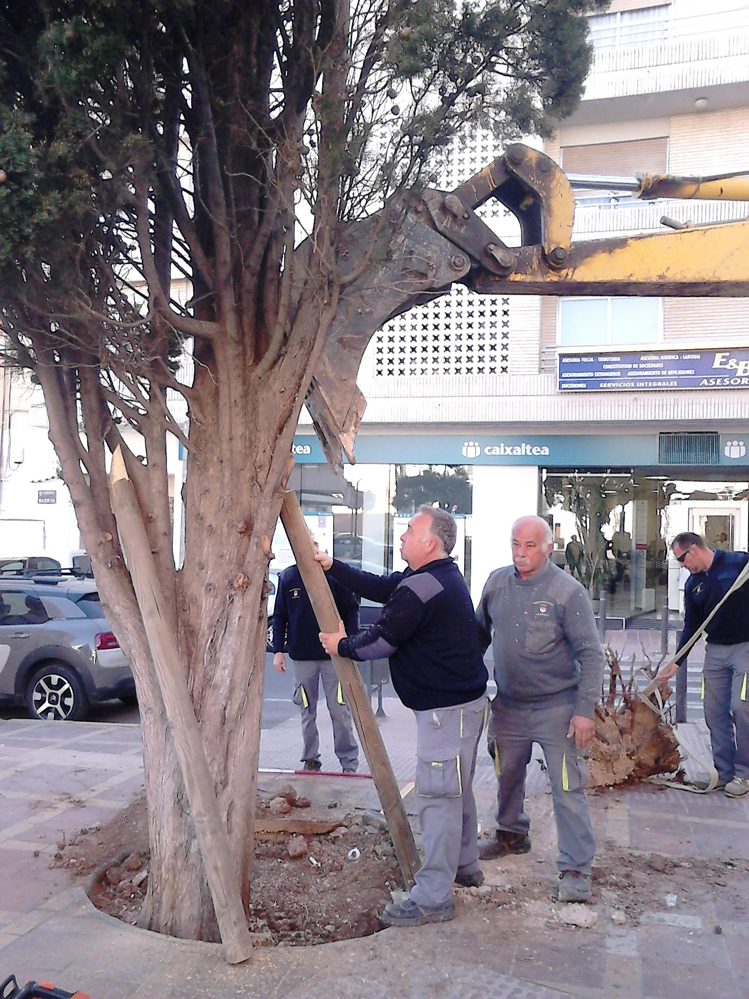 El Ayuntamiento de l'Alfàs corrige la inclinación del ciprés de la farmacia tras el último temporal de viento