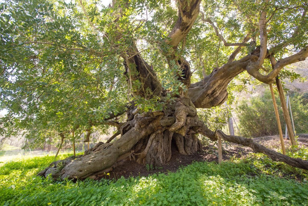 El algarrobo de Foia Brell de l'Alfàs del Pi aspira a ser Árbol Europeo del Año