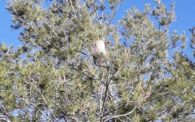 El Ayuntamiento de l'Alfàs limpia los nidos de procesionaria de los parques y espacios públicos