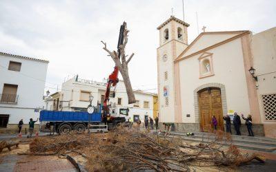 L'Alfàs se despide del pino de la plaza Mayor, el sexto en la historia del municipio