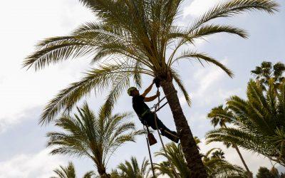 L'Alfàs emprende el plan de poda de palmeras y árboles para garantizar su conservación